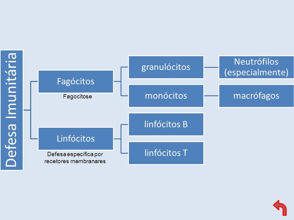 Defesa Imunitária Fagócitos granulócitos Neutrófilos (especialmente) monócitosmacrófagos Linfócitos linfócitos B linfócitos T Fagocitose Defesa especí