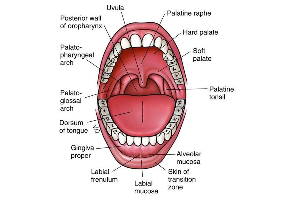 DENTES: Dentes molares 12 Dentes pré-molares 8 Dentes caninos 4 Dentes incisivos 8 Frênulo da língua Ductos das glândulas submandibulares