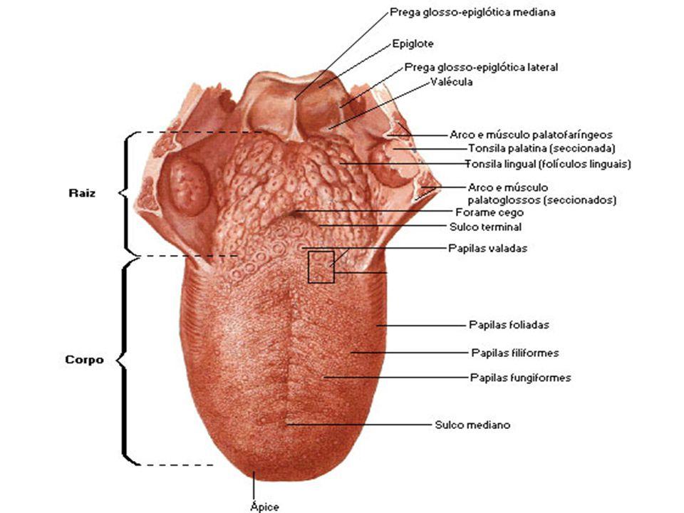 Sistema Digestório -Na parte posterior do palato mole, a boca abre-se para a parte oral da faringe. As tonsilas palatinas encontram-se logo atrás dess