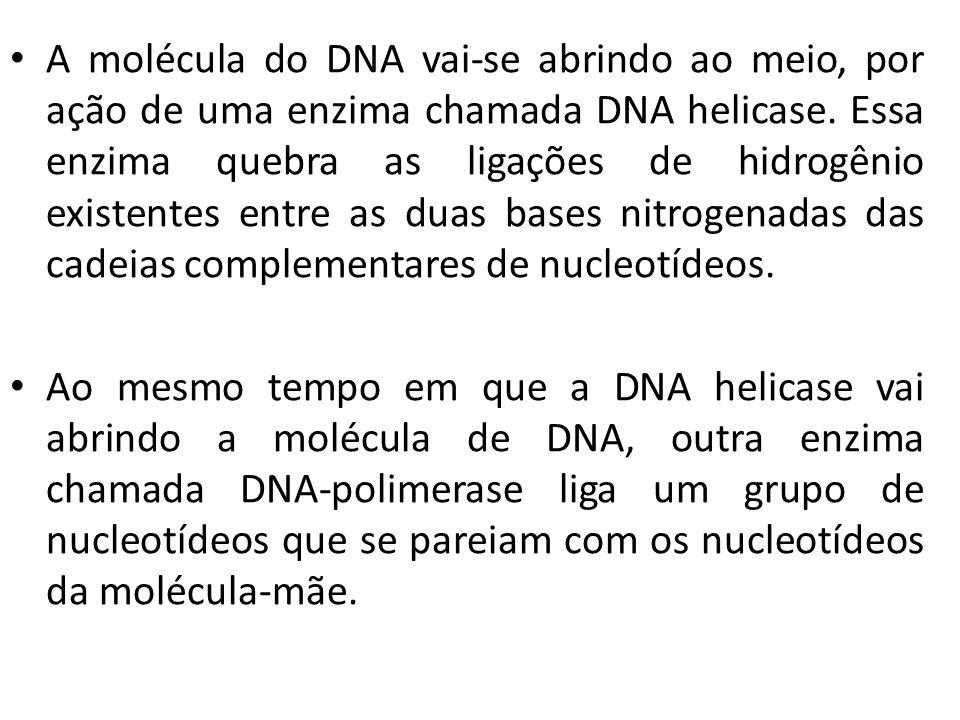 A molécula do DNA vai-se abrindo ao meio, por ação de uma enzima chamada DNA helicase. Essa enzima quebra as ligações de hidrogênio existentes entre a