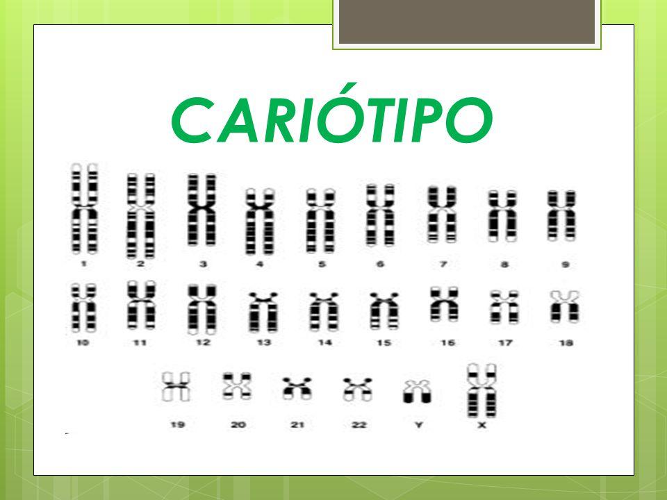 Cariótipos Cariótipo de um homem 22AA + XY ou 46,XY Cariótipo de uma mulher 22AA + XX ou 46,XX