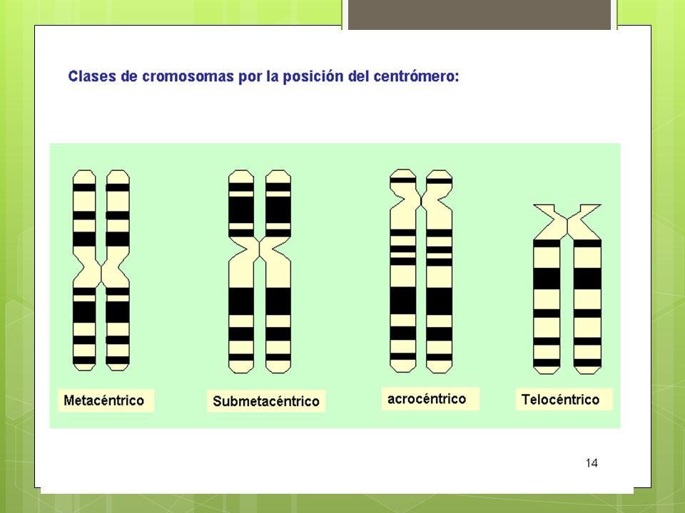 Característica Para determinação e visualização do cariótipo, sendo possível quantificar o número típico de cromossomos de uma espécie, é necessária a interrupção do processo de divisão celular no momento da metáfase, fase na qual os cromossomos atingem o máximo de condensação.