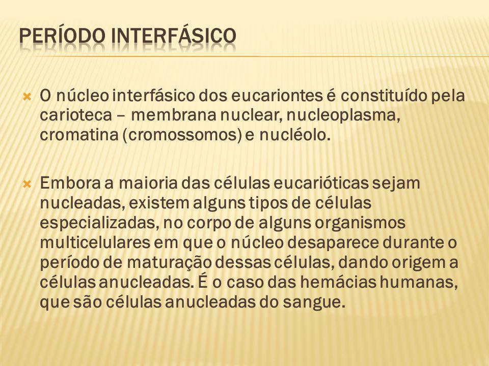 O núcleo interfásico dos eucariontes é constituído pela carioteca – membrana nuclear, nucleoplasma, cromatina (cromossomos) e nucléolo.