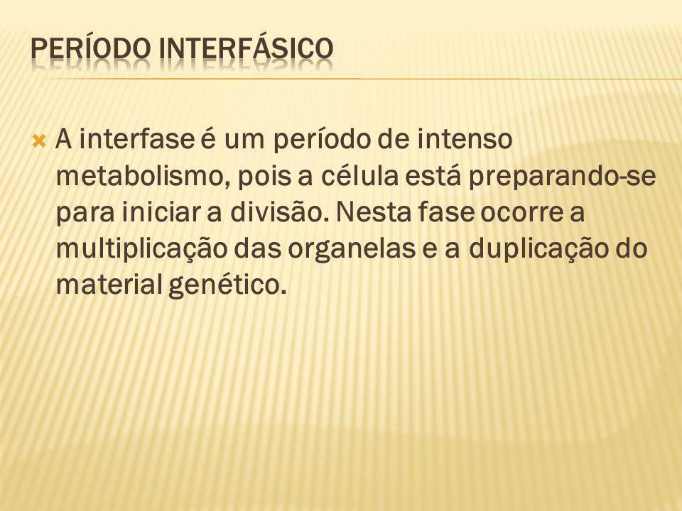 A interfase é um período de intenso metabolismo, pois a célula está preparando-se para iniciar a divisão.