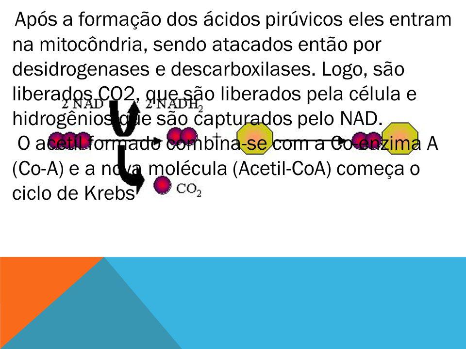 Após a formação dos ácidos pirúvicos eles entram na mitocôndria, sendo atacados então por desidrogenases e descarboxilases. Logo, são liberados CO2, q