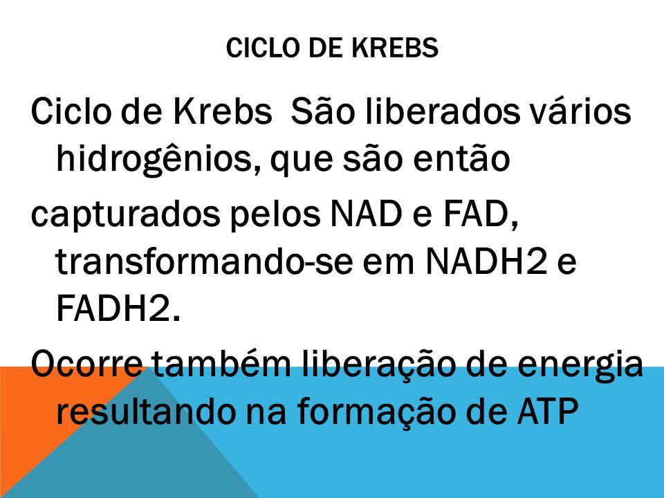 CICLO DE KREBS Ciclo de Krebs São liberados vários hidrogênios, que são então capturados pelos NAD e FAD, transformando-se em NADH2 e FADH2. Ocorre ta