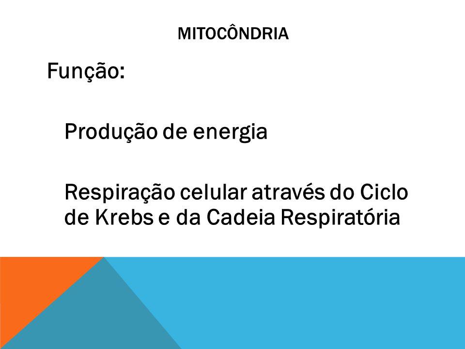 MITOCÔNDRIA Função: Produção de energia Respiração celular através do Ciclo de Krebs e da Cadeia Respiratória