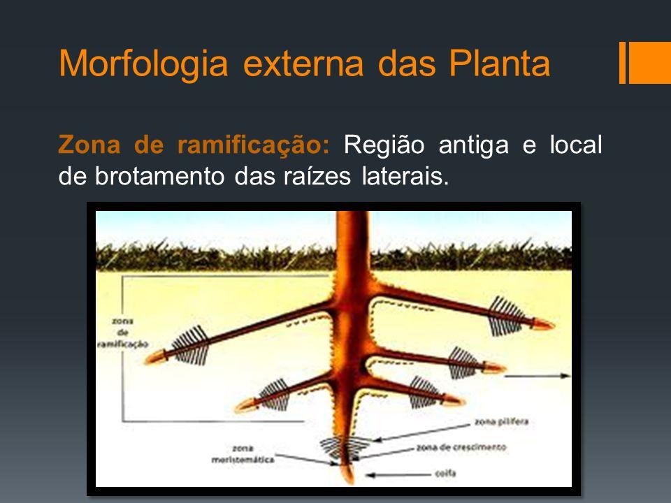 Morfologia externa das Planta Zona de ramificação: Região antiga e local de brotamento das raízes laterais.
