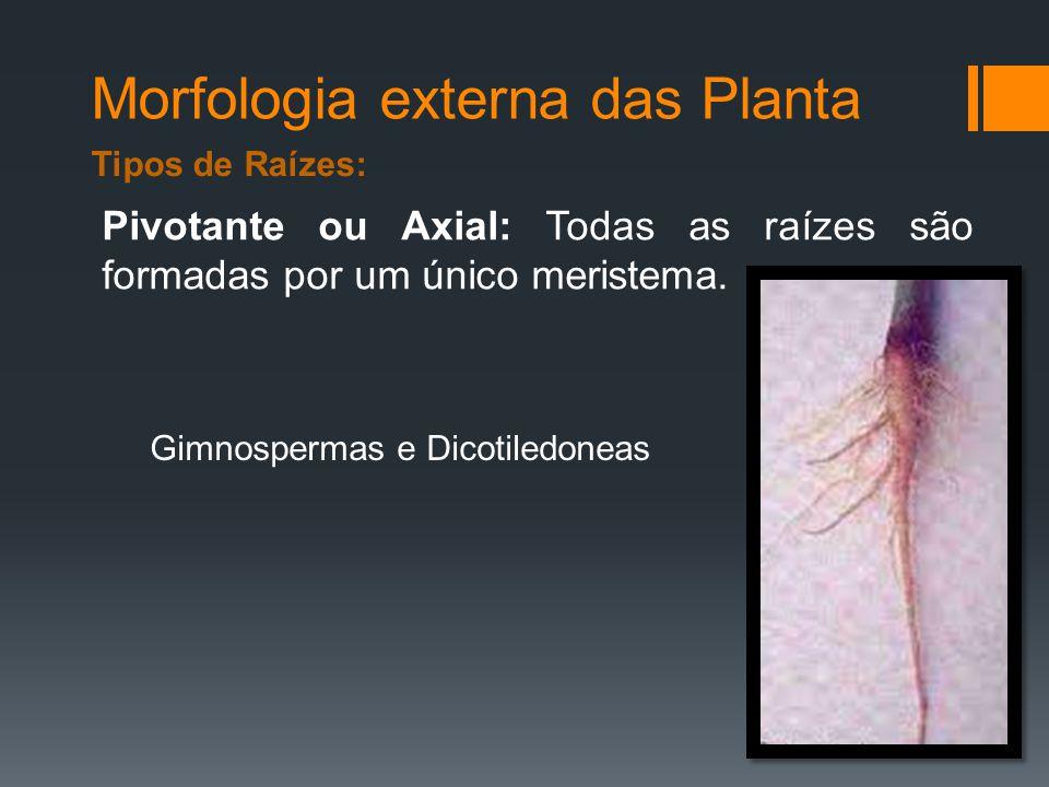 Morfologia externa das Planta Pivotante ou Axial: Todas as raízes são formadas por um único meristema.