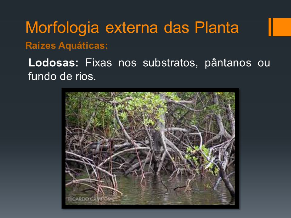 Morfologia externa das Planta Raízes Aquáticas: Lodosas: Fixas nos substratos, pântanos ou fundo de rios.