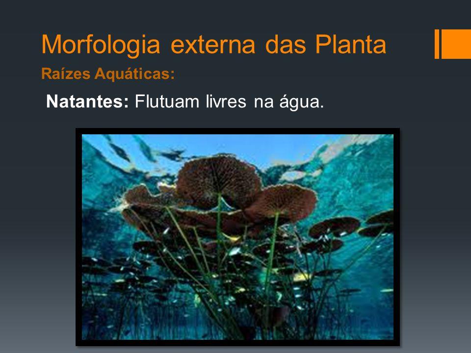 Morfologia externa das Planta Raízes Aquáticas: Natantes: Flutuam livres na água.