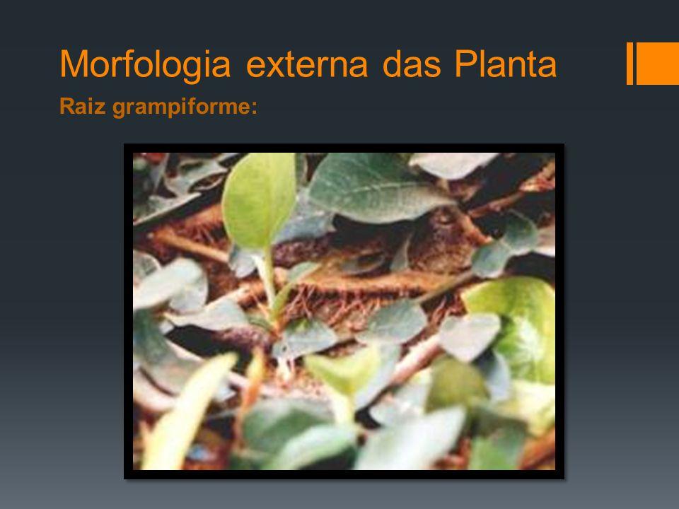 Morfologia externa das Planta Raiz grampiforme: