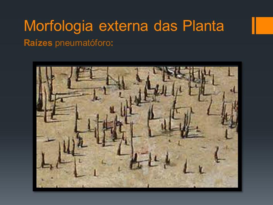 Morfologia externa das Planta Raízes pneumatóforo: