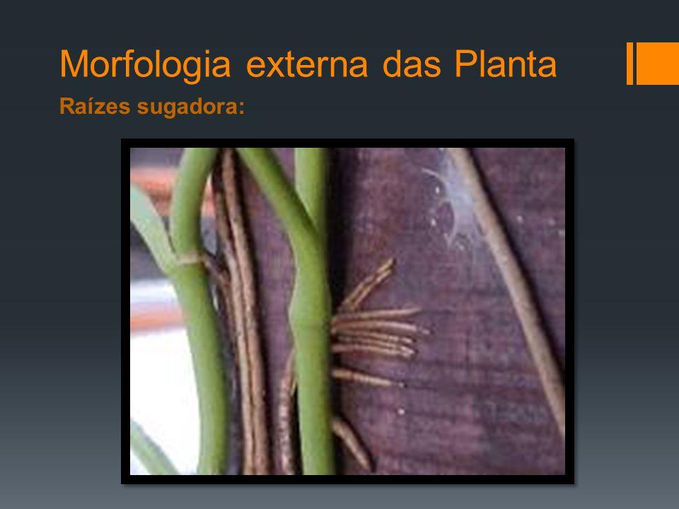 Morfologia externa das Planta Raízes sugadora:
