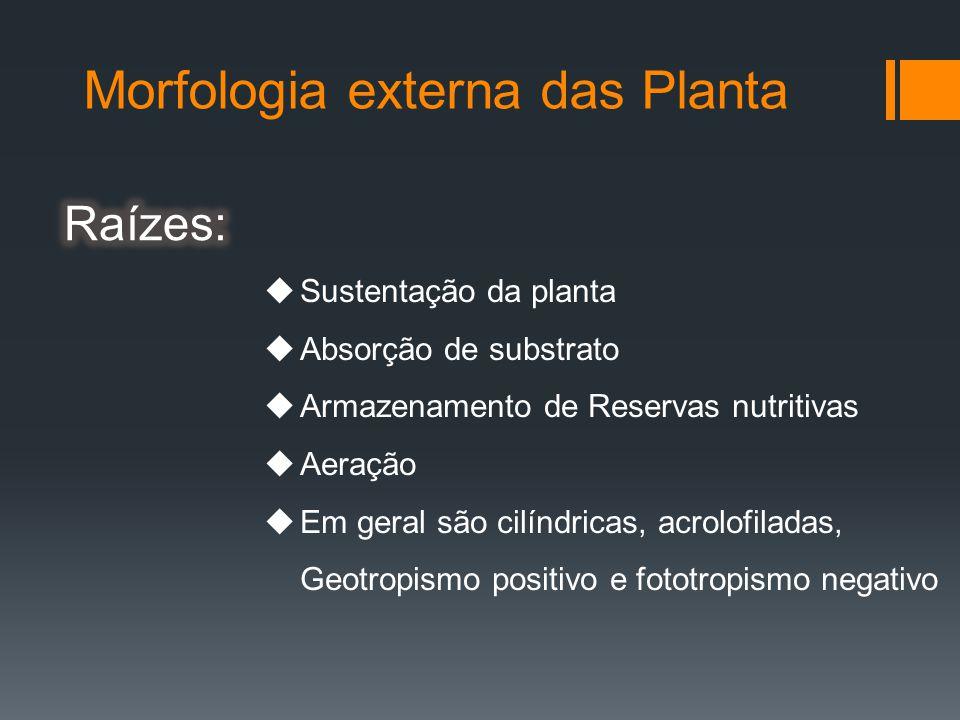 Morfologia externa das Planta Sustentação da planta Absorção de substrato Armazenamento de Reservas nutritivas Aeração Em geral são cilíndricas, acrolofiladas, Geotropismo positivo e fototropismo negativo