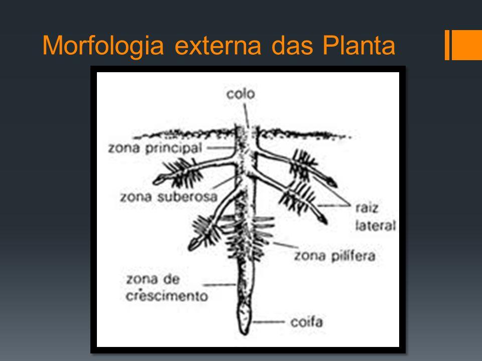 Morfologia externa das Planta Raízes cintura ou estranguladora: