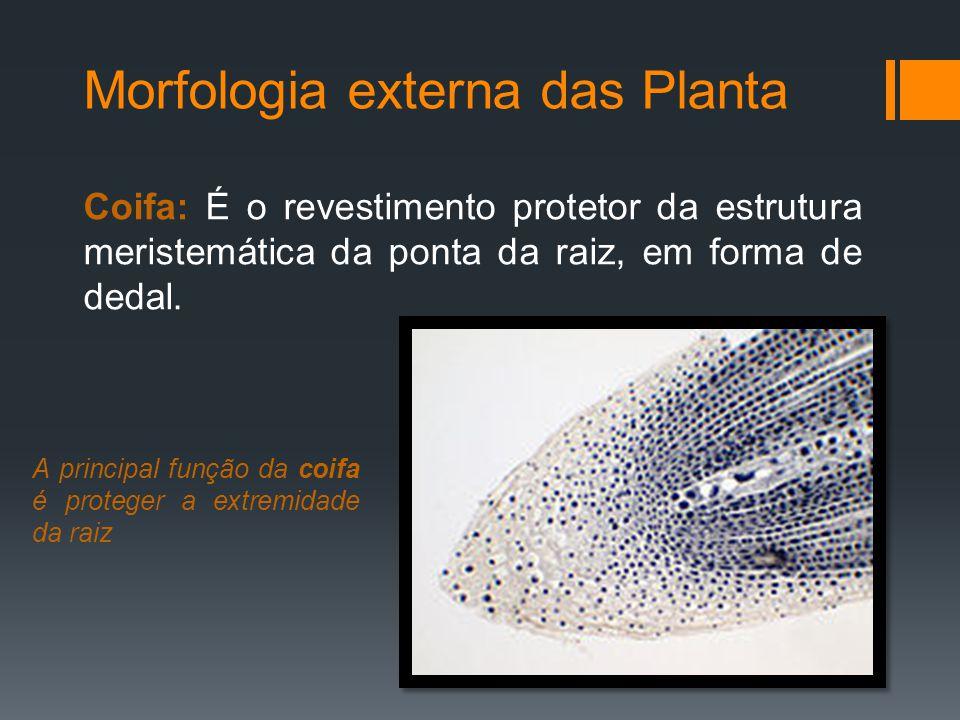 Morfologia externa das Planta Zona de Crescimento: As células meristemáticas estão se alongando, promovendo o crescimento da raiz.