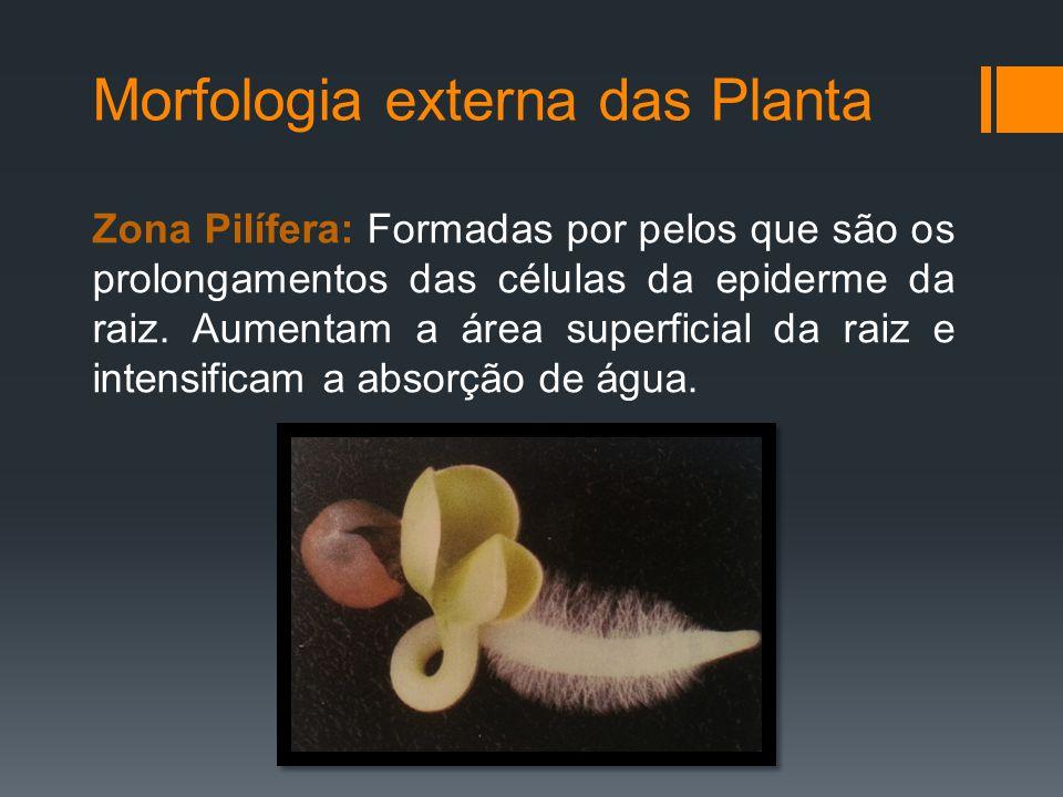 Morfologia externa das Planta Zona Pilífera: Formadas por pelos que são os prolongamentos das células da epiderme da raiz.