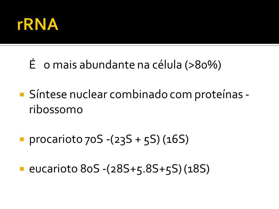 É o mais abundante na célula (>80%) Síntese nuclear combinado com proteínas - ribossomo procarioto 70S -(23S + 5S) (16S) eucarioto 80S -(28S+5.8S+5S)