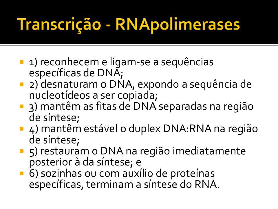 1) reconhecem e ligam-se a sequências específicas de DNA; 2) desnaturam o DNA, expondo a sequência de nucleotídeos a ser copiada; 3) mantêm as fitas d