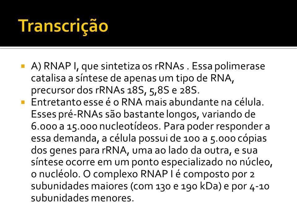 A) RNAP I, que sintetiza os rRNAs. Essa polimerase catalisa a síntese de apenas um tipo de RNA, precursor dos rRNAs 18S, 5,8S e 28S. Entretanto esse é
