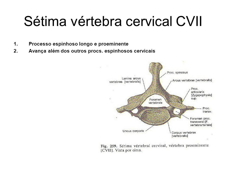 Sétima vértebra cervical CVII 1.Processo espinhoso longo e proeminente 2.Avança além dos outros procs. espinhosos cervicais