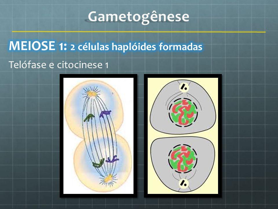 Telófase e citocinese 1