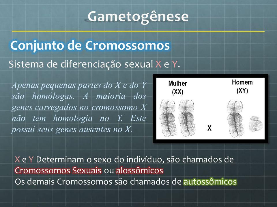 Sistema de diferenciação sexual X e Y. Apenas pequenas partes do X e do Y são homólogas. A maioria dos genes carregados no cromossomo X não tem homolo