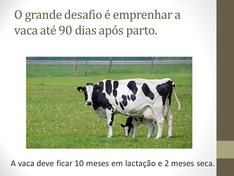 O grande desafio é emprenhar a vaca até 90 dias após parto. A vaca deve ficar 10 meses em lactação e 2 meses seca.
