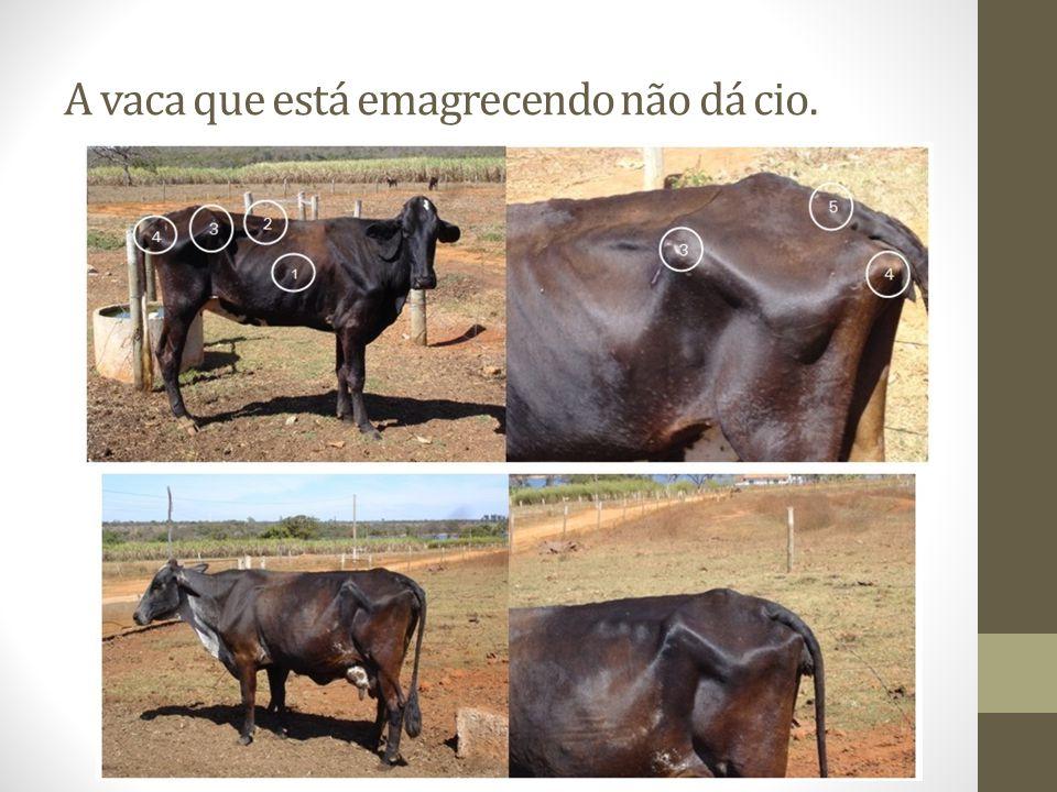 A vaca que está emagrecendo não dá cio.