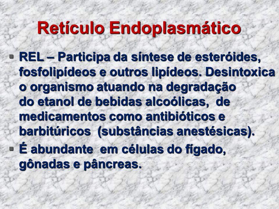 Retículo Endoplasmático REL – Participa da síntese de esteróides, fosfolipídeos e outros lipídeos. Desintoxica o organismo atuando na degradação do et