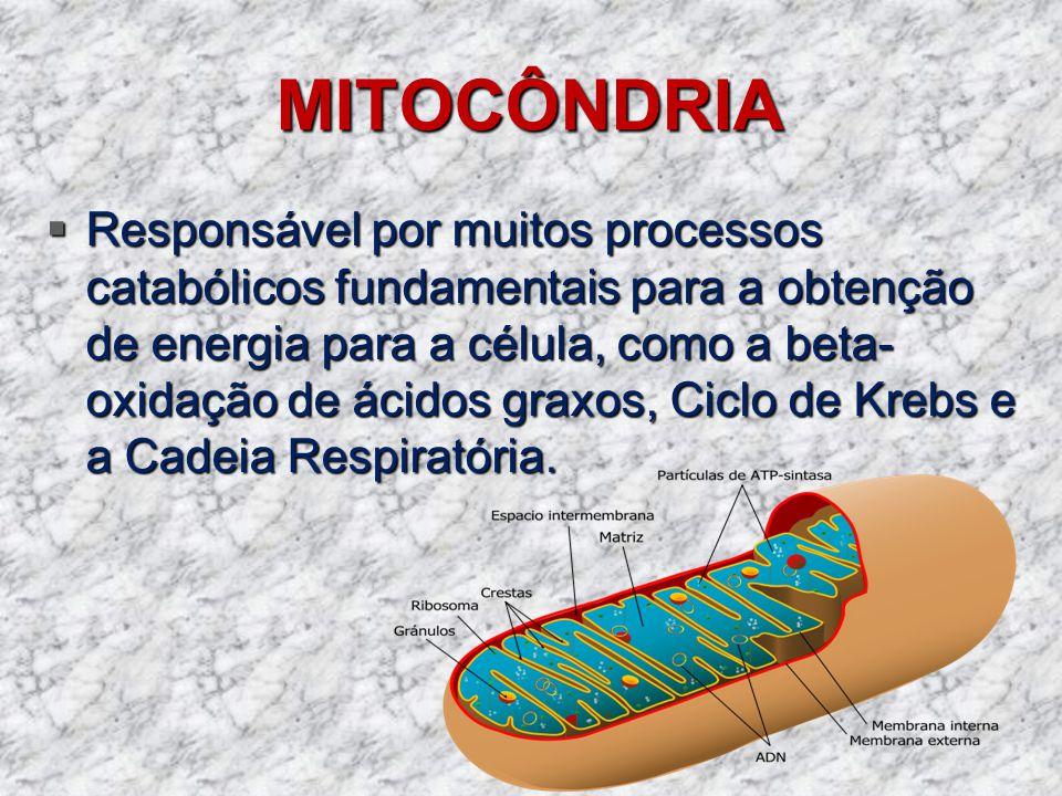 MITOCÔNDRIA Responsável por muitos processos catabólicos fundamentais para a obtenção de energia para a célula, como a beta- oxidação de ácidos graxos