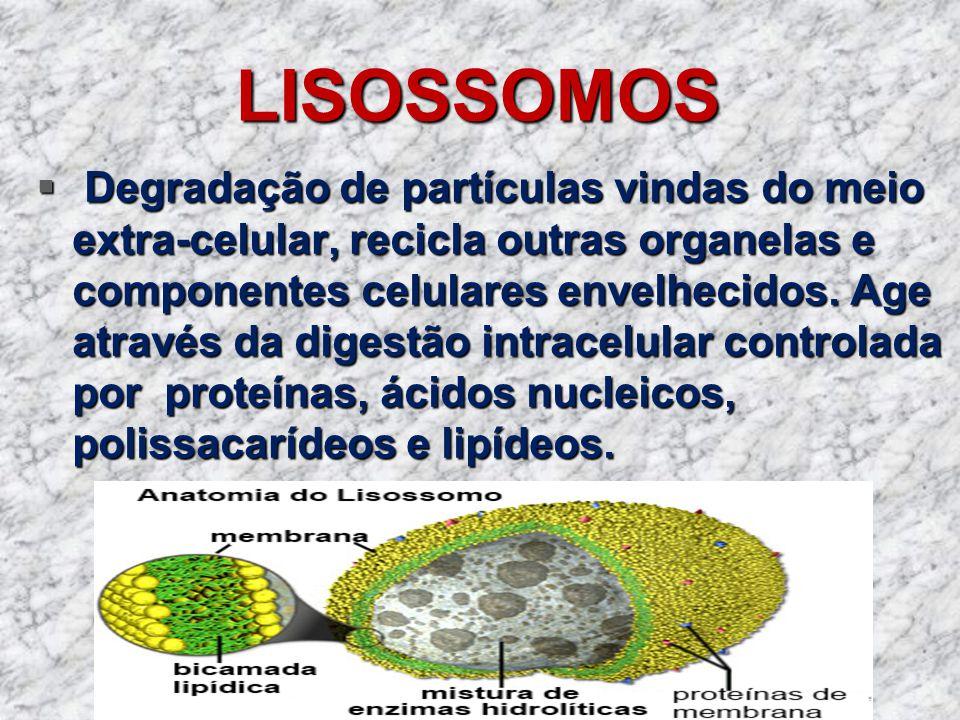 LISOSSOMOS Degradação de partículas vindas do meio extra-celular, recicla outras organelas e componentes celulares envelhecidos. Age através da digest