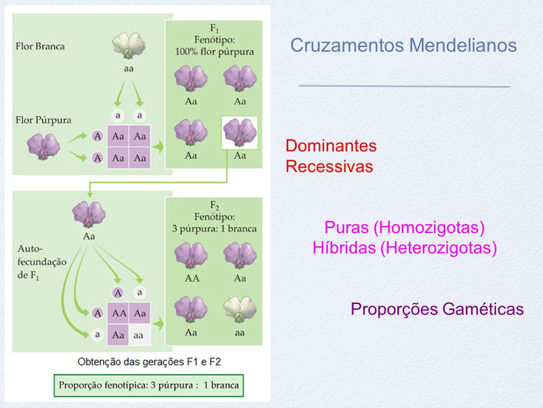 Proporção Gamética Proporção Fenotípica - 3:1 (3 lisas e 1 rugosa) Proporção Genotípica - 1:2:1 (1 LL, 2 L l e 1 ll )