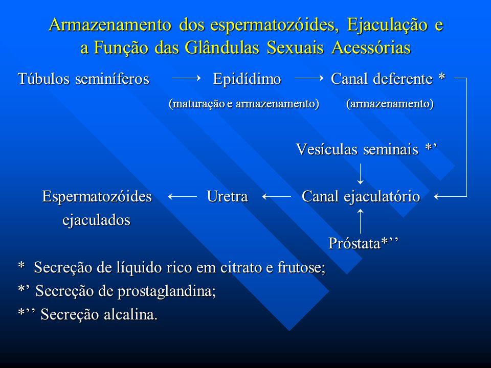 Armazenamento dos espermatozóides, Ejaculação e a Função das Glândulas Sexuais Acessórias Túbulos seminíferos Epidídimo Canal deferente * (maturação e