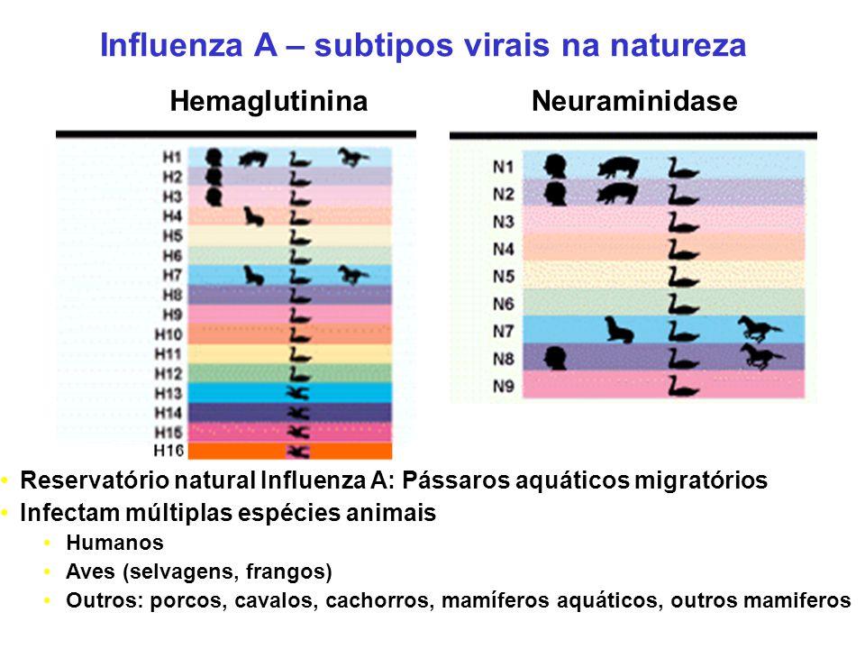 Influenza A – subtipos virais na natureza HemaglutininaNeuraminidase Reservatório natural Influenza A: Pássaros aquáticos migratórios Infectam múltiplas espécies animais Humanos Aves (selvagens, frangos) Outros: porcos, cavalos, cachorros, mamíferos aquáticos, outros mamiferos
