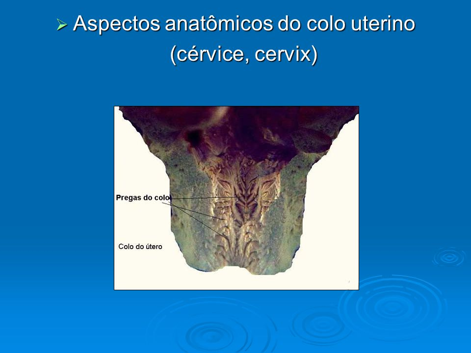 Aspectos anatômicos do colo uterino Aspectos anatômicos do colo uterino (cérvice, cervix)