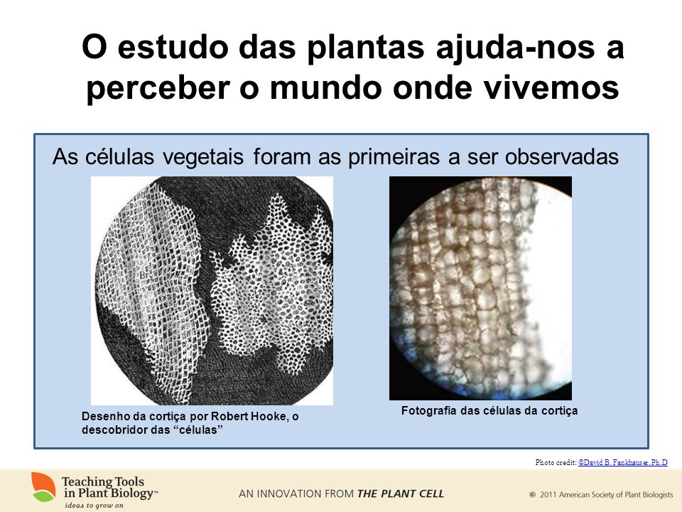 O estudo das plantas ajuda-nos a perceber o mundo onde vivemos Desenho da cortiça por Robert Hooke, o descobridor das células As células vegetais fora