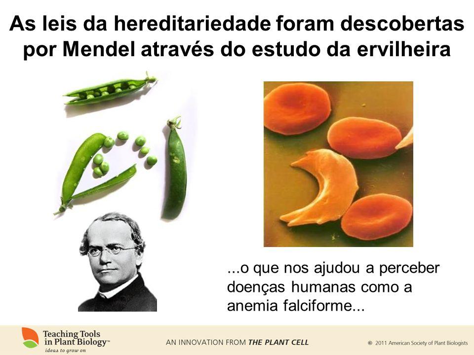 ...o que nos ajudou a perceber doenças humanas como a anemia falciforme... As leis da hereditariedade foram descobertas por Mendel através do estudo d
