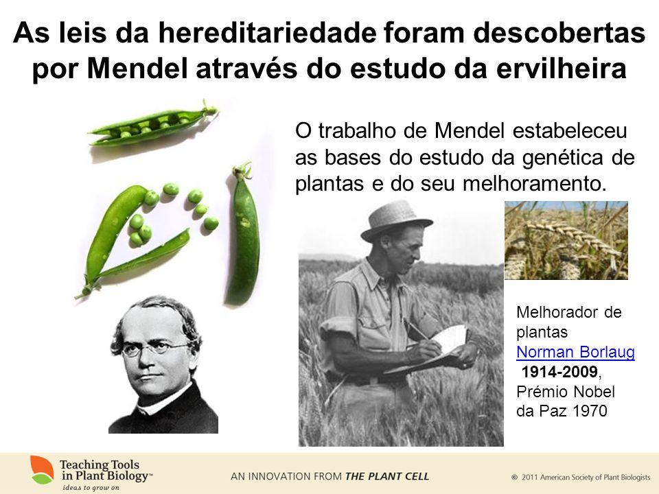As leis da hereditariedade foram descobertas por Mendel através do estudo da ervilheira O trabalho de Mendel estabeleceu as bases do estudo da genética de plantas e do seu melhoramento.