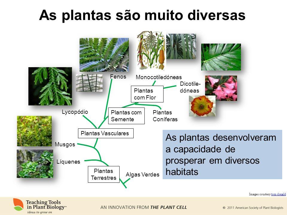 As plantas são muito diversas Algas Verdes Líquenes Musgos Plantas Vasculares Lycopódio Fenos Plantas com Semente Plantas com Flor Plantas Coníferas M
