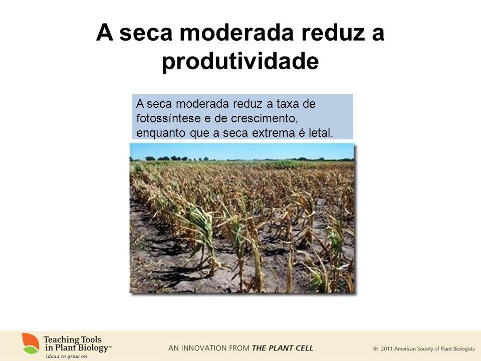 A seca moderada reduz a produtividade A seca moderada reduz a taxa de fotossíntese e de crescimento, enquanto que a seca extrema é letal.