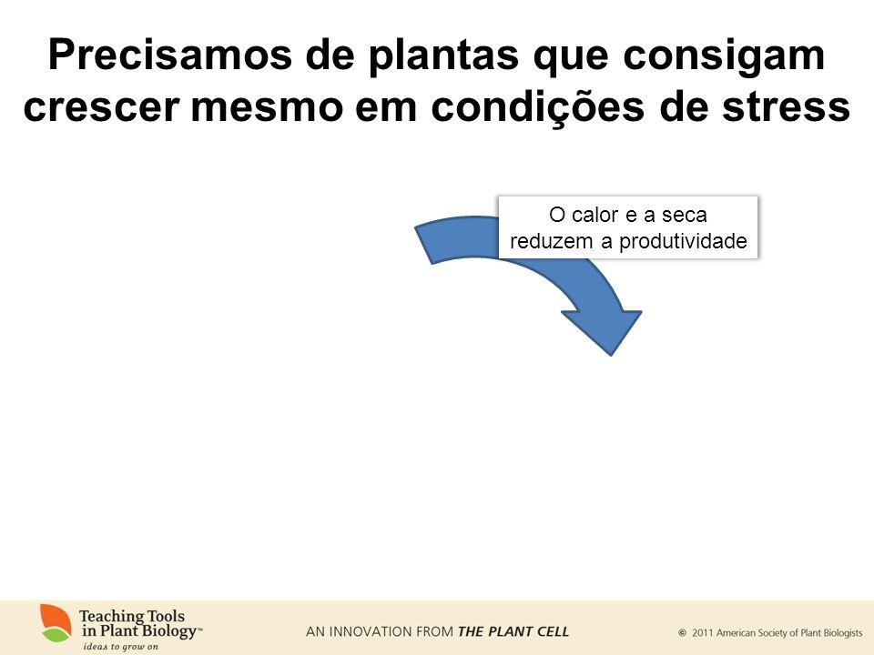 Precisamos de plantas que consigam crescer mesmo em condições de stress O calor e a seca reduzem a produtividade