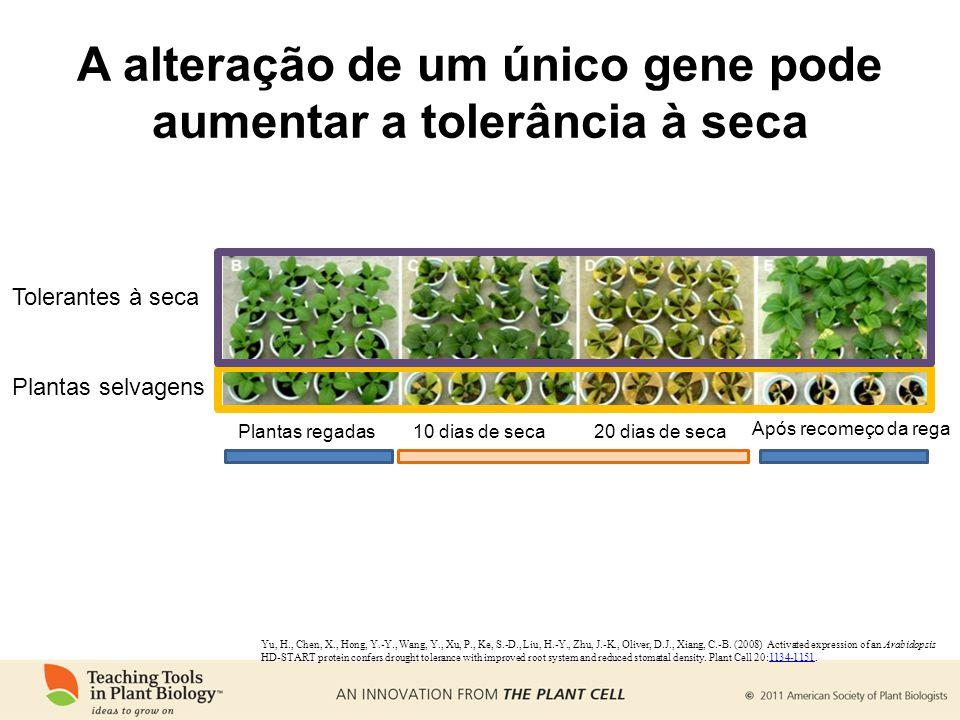 A alteração de um único gene pode aumentar a tolerância à seca Yu, H., Chen, X., Hong, Y.-Y., Wang, Y., Xu, P., Ke, S.-D., Liu, H.-Y., Zhu, J.-K., Oliver, D.J., Xiang, C.-B.