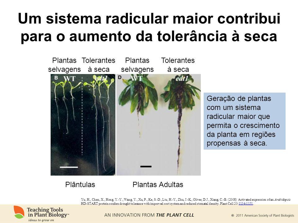 Um sistema radicular maior contribui para o aumento da tolerância à seca PlântulasPlantas Adultas Plantas selvagens Tolerantes à seca Geração de plantas com um sistema radicular maior que permita o crescimento da planta em regiões propensas à seca.