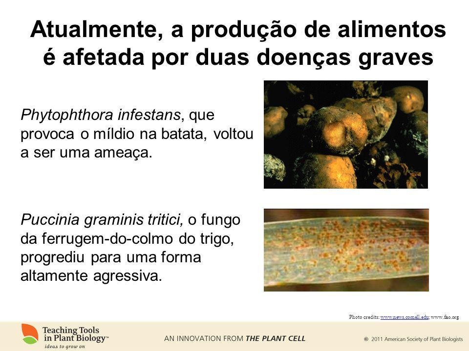 Atualmente, a produção de alimentos é afetada por duas doenças graves Phytophthora infestans, que provoca o míldio na batata, voltou a ser uma ameaça.