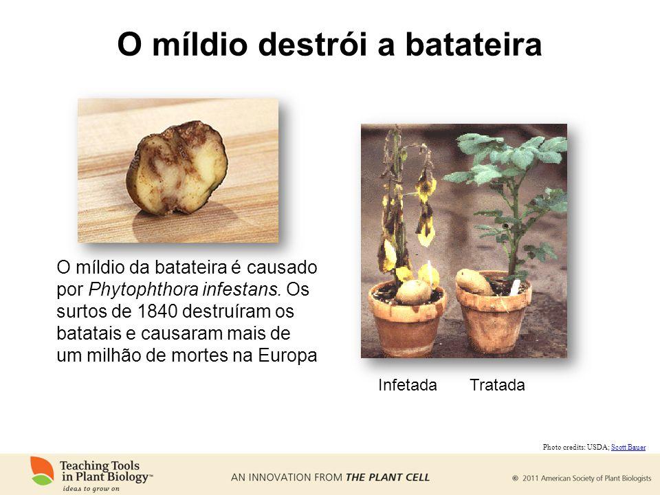 O míldio destrói a batateira O míldio da batateira é causado por Phytophthora infestans.