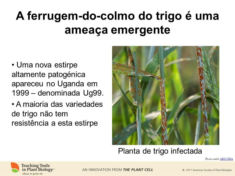 A ferrugem-do-colmo do trigo é uma ameaça emergente Uma nova estirpe altamente patogénica apareceu no Uganda em 1999 – denominada Ug99. A maioria das