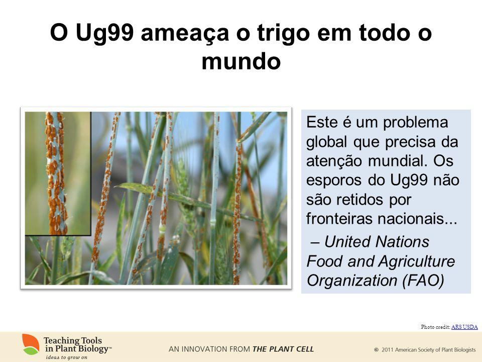 O Ug99 ameaça o trigo em todo o mundo Este é um problema global que precisa da atenção mundial. Os esporos do Ug99 não são retidos por fronteiras naci