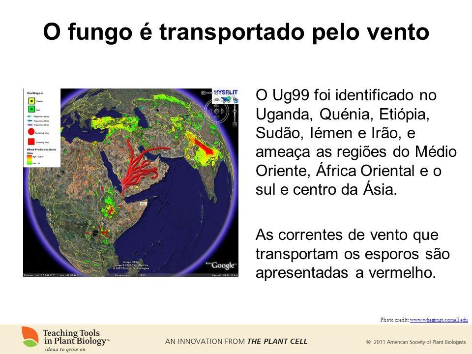 O fungo é transportado pelo vento O Ug99 foi identificado no Uganda, Quénia, Etiópia, Sudão, Iémen e Irão, e ameaça as regiões do Médio Oriente, África Oriental e o sul e centro da Ásia.